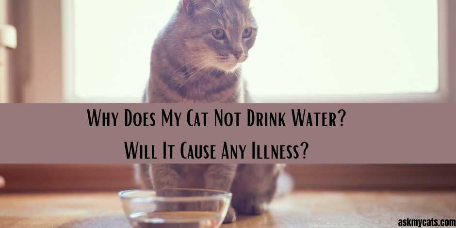 Why Does My Cat Not Drink Water Will It Cause Any Illness