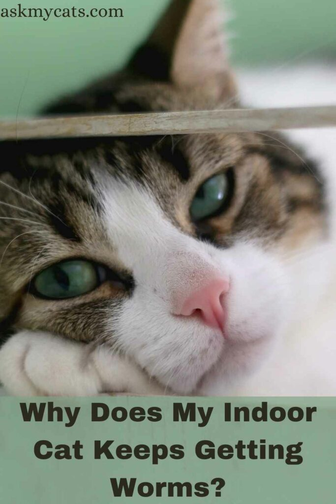 Why Does My Indoor Cat Keeps Getting Worms?