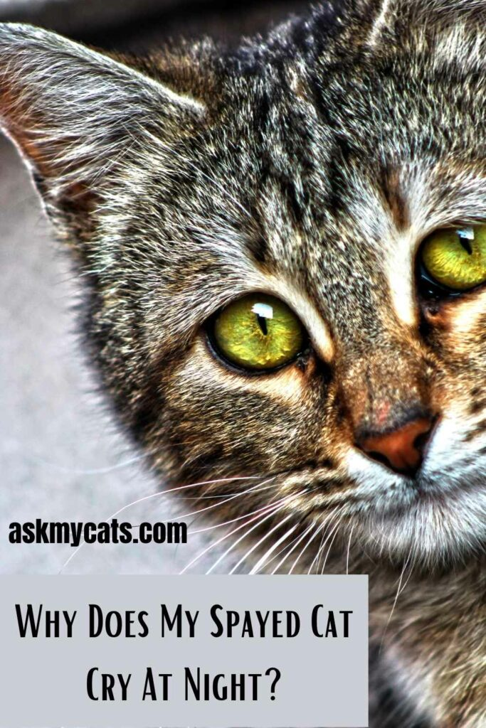 Why Does My Spayed Cat Cry At Night?