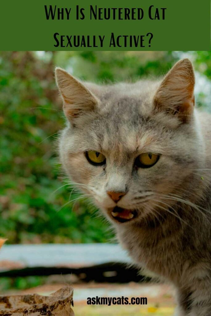 Why Is Neutered Cat Sexually Active?
