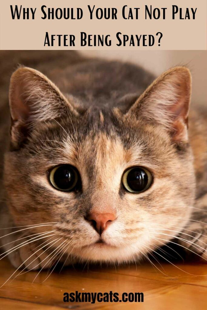 Why Should Your Cat Not Play After Being Spayed