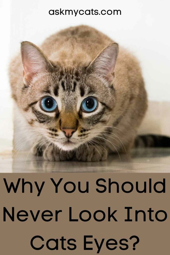 Why You Should Never Look Into Cats Eyes?