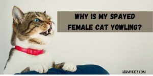 Why Is My Spayed Female Cat Yowling? Is It In Pain?