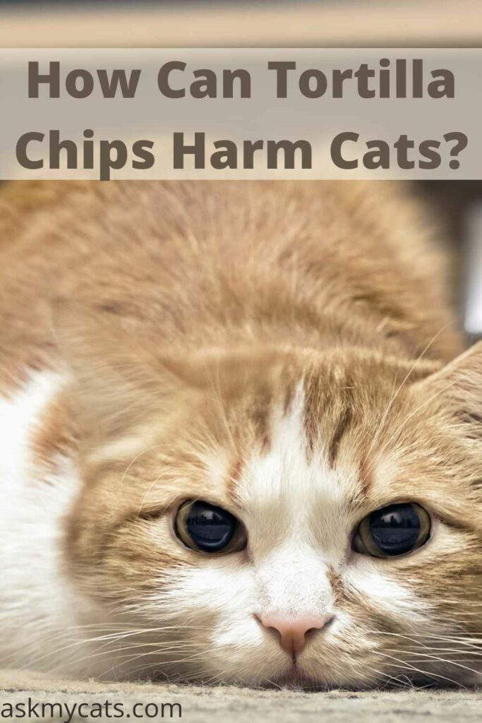 How Can Tortilla Chips Harm Cats?