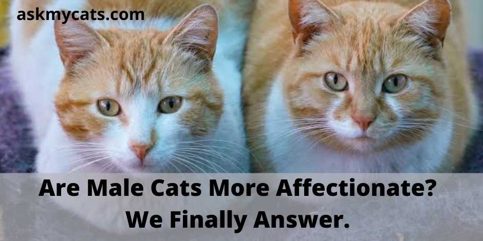 Are Male Cats More Affectionate? We Finally Answer.