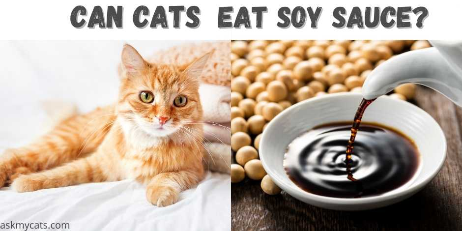can cats eat soy sauce?