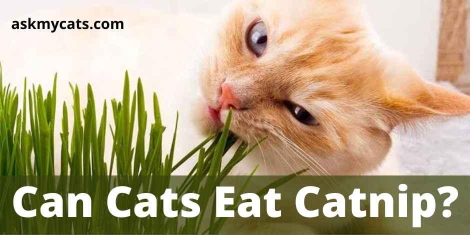 Can Cats Eat Catnip?