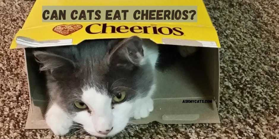 Can Cats Eat Cheerios?