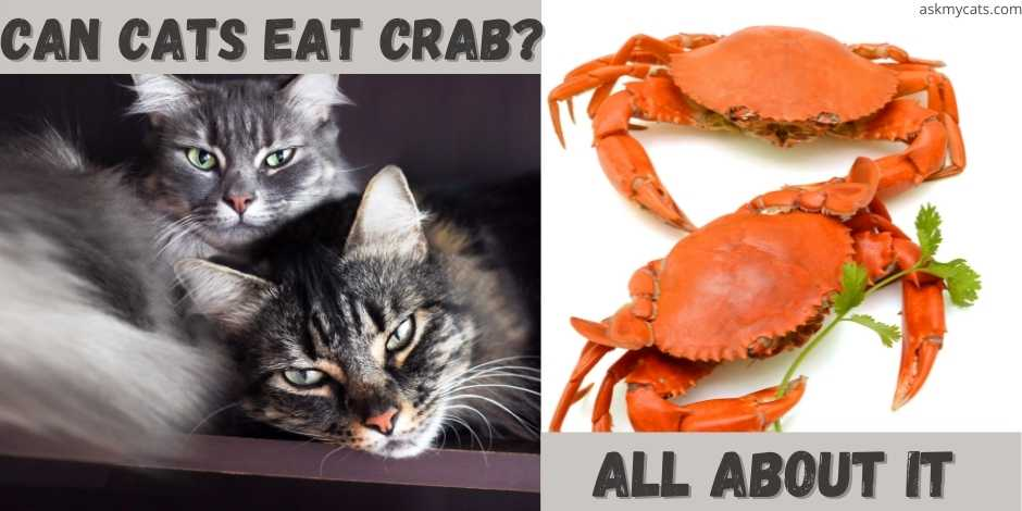 can cats eat crab? all about it.