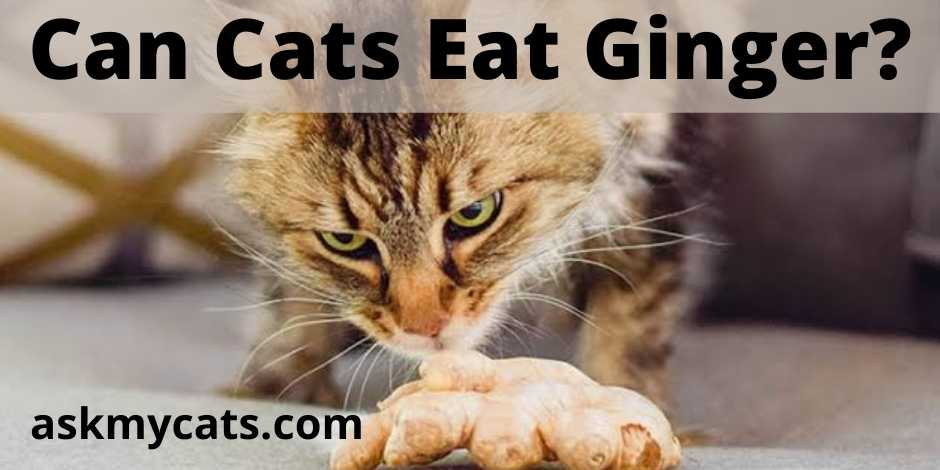 Can Cats Eat Ginger?
