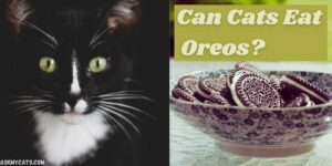 Can Cats Eat Oreos? Why Are Oreos Bad For Your Cat?