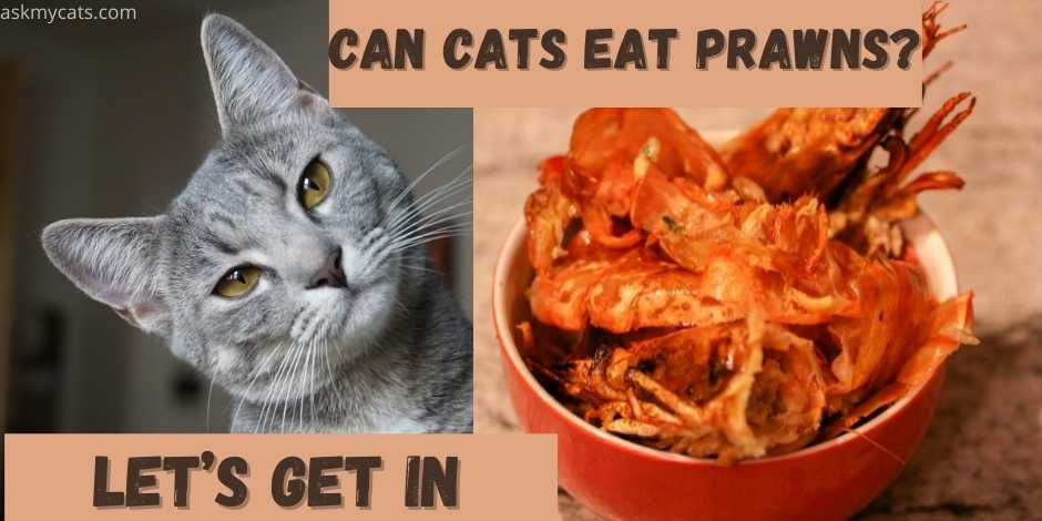 CAN CATS EAT PRAWNS?