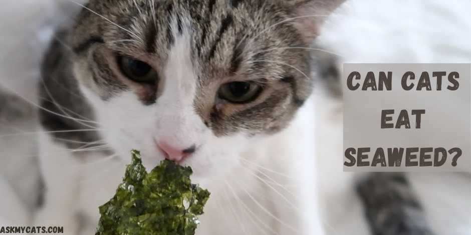 Can Cats Eat Seaweed?