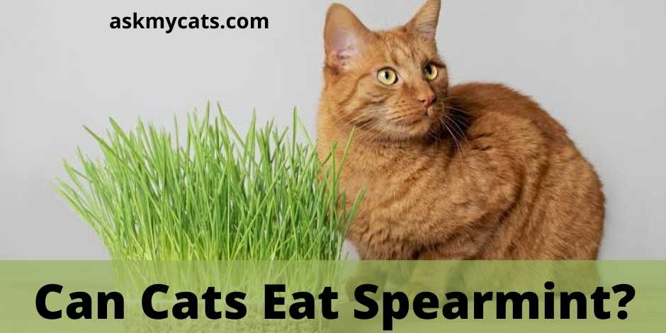 Can Cats Eat Spearmint?