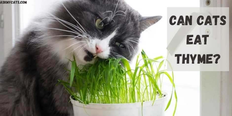 Can Cats Eat Thyme?