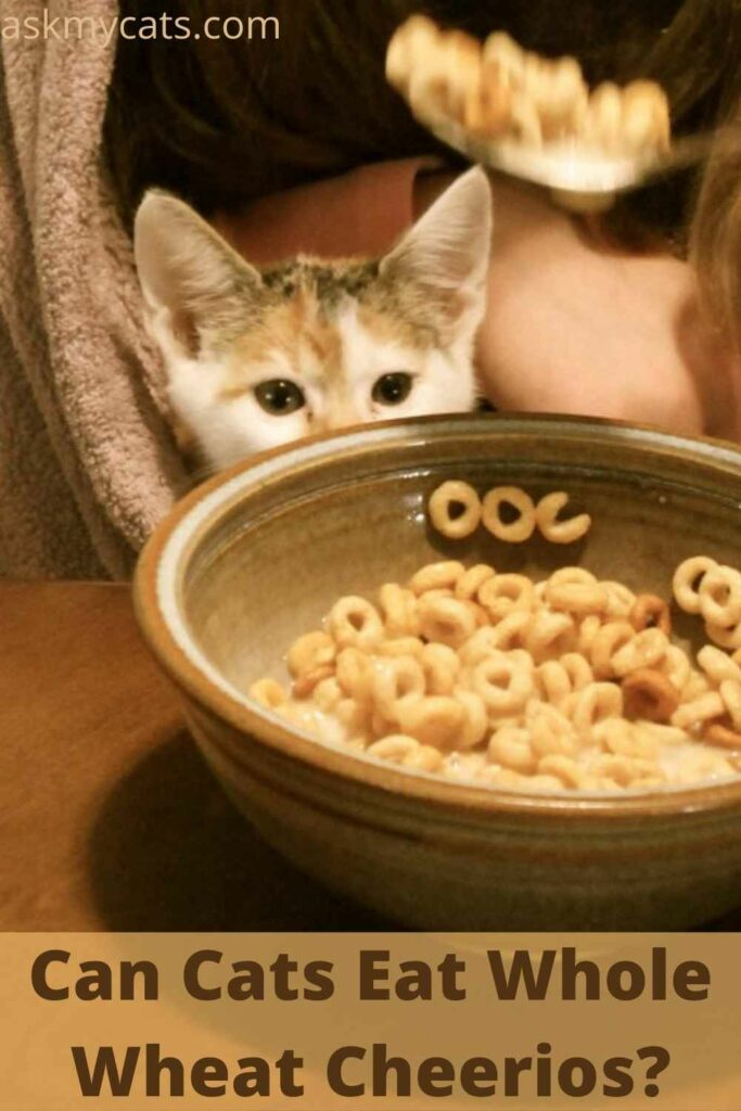 Can Cats Eat Whole Wheat Cheerios?