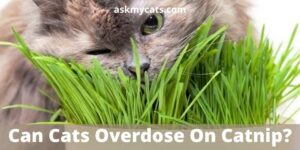 Can Cats Overdose On Catnip? Can Too Much Catnip Kill A Cat?