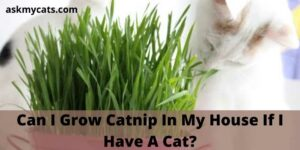 Can I Grow Catnip In My House If I Have A Cat?