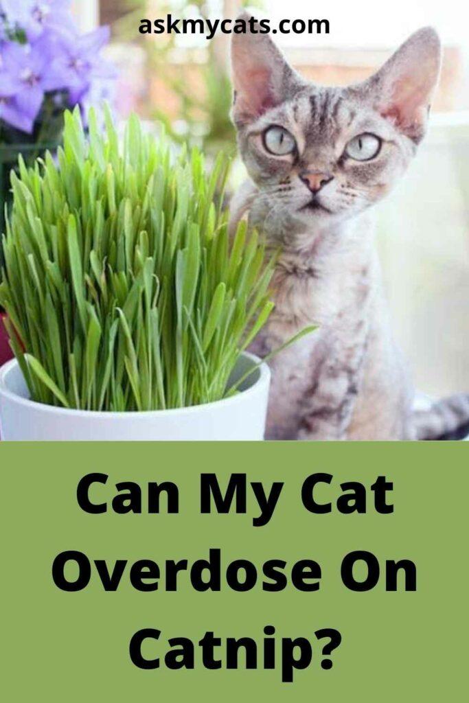 Can My Cat Overdose On Catnip?