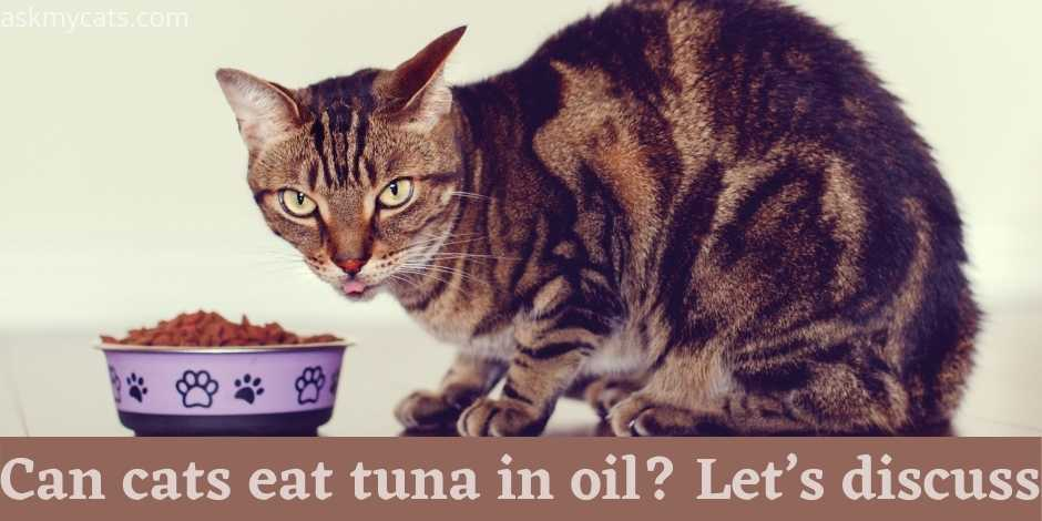 Can-cats-eat-tuna-in-oil-Lets-discuss