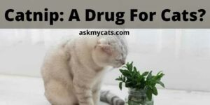 Catnip: A Drug For Cats? Can I Give My Cat Catnip Everyday?