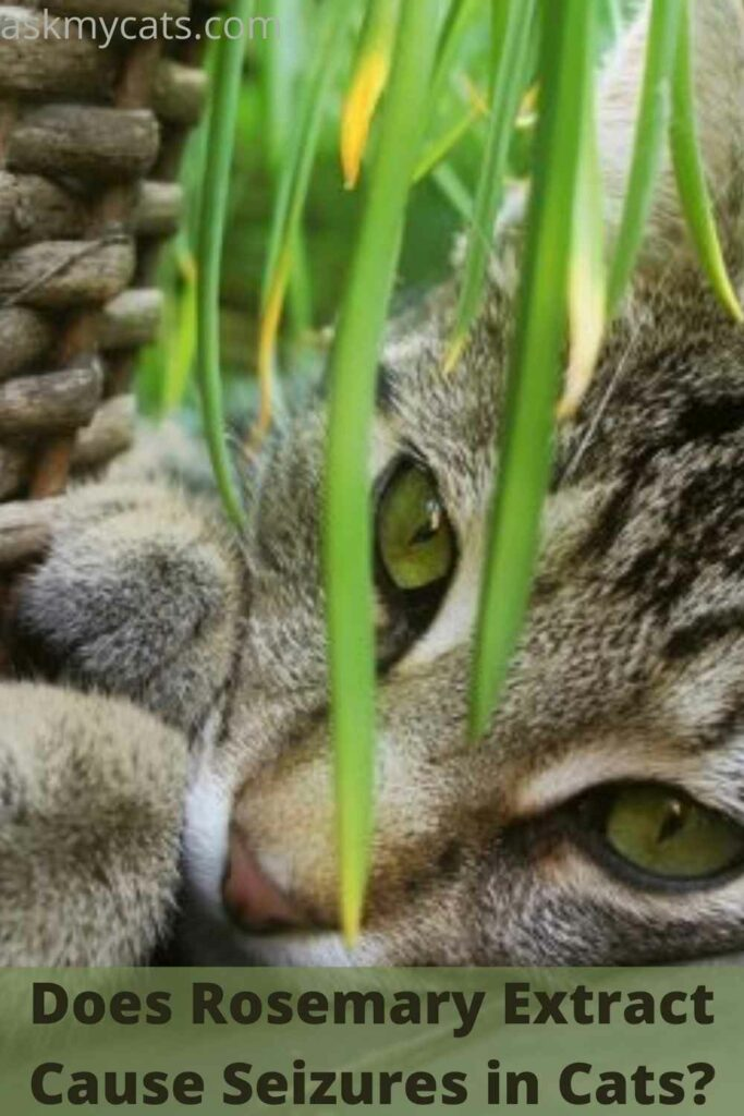Does Rosemary Extract Cause Seizures in Cats?