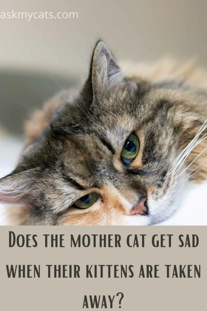 Does The Mother Cat Get Sad When Their Kittens Are Taken Away?