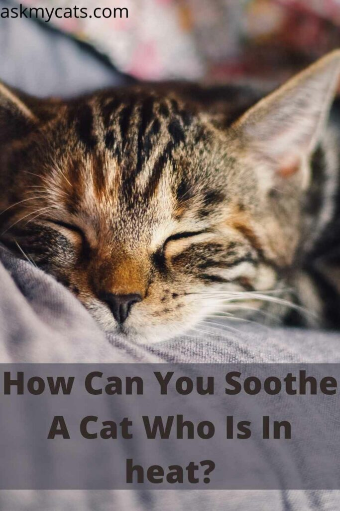 How Can You Soothe A Cat Who Is In heat?