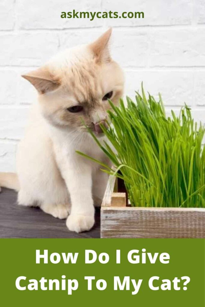How Do I Give Catnip To My Cat?