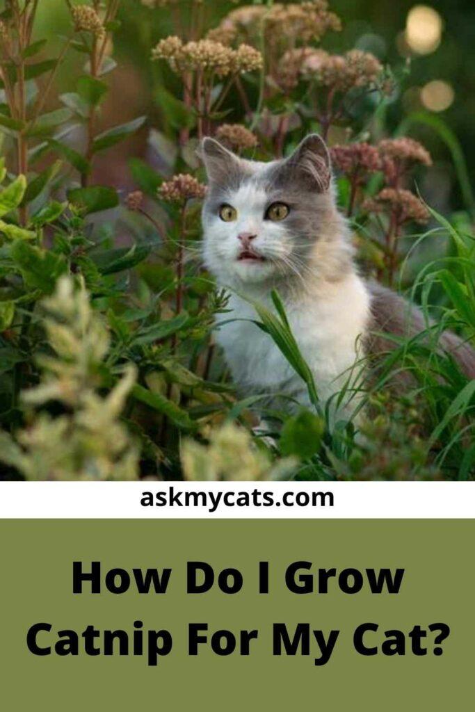 How Do I Grow Catnip For My Cat?
