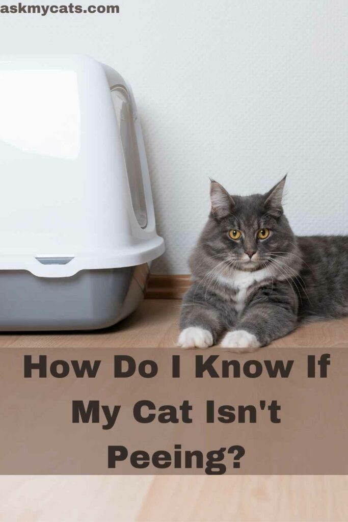 How To Cure Urinary Obstruction In Cats?
