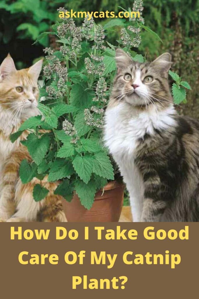 How Do I Take Good Care Of My Catnip Plant?