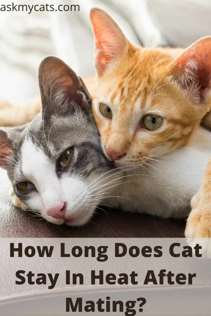 How Long Does Cat Stay In Heat After Mating?