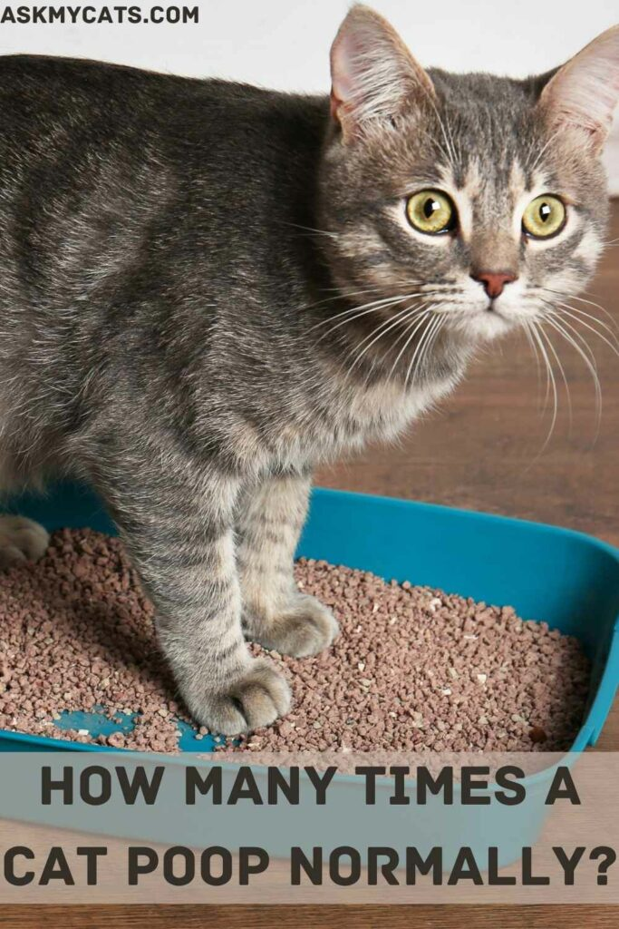 How Many Times A Cat Poop Normally?