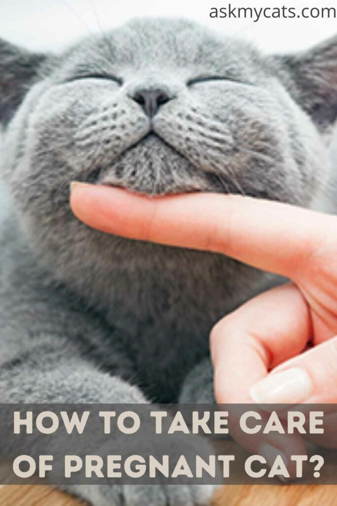 How To Take Care Of Pregnant Cat?
