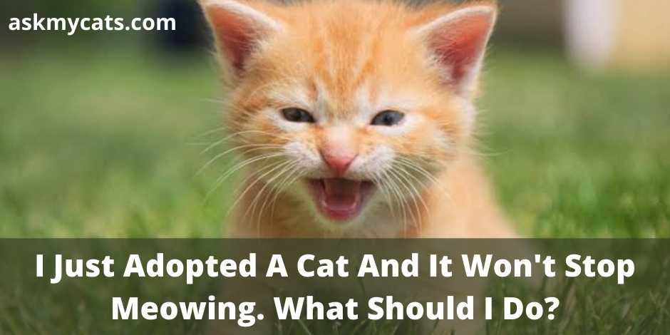 I Just Adopted A Cat And It Won't Stop Meowing. What Should I Do?