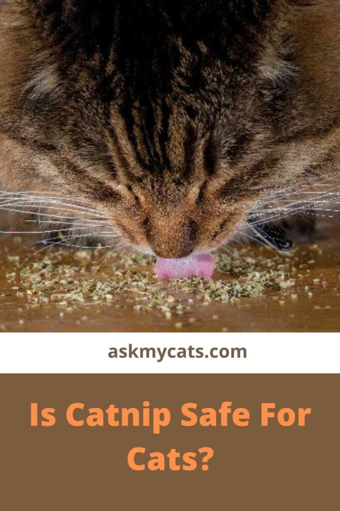 Is Catnip Beneficial To Cats?