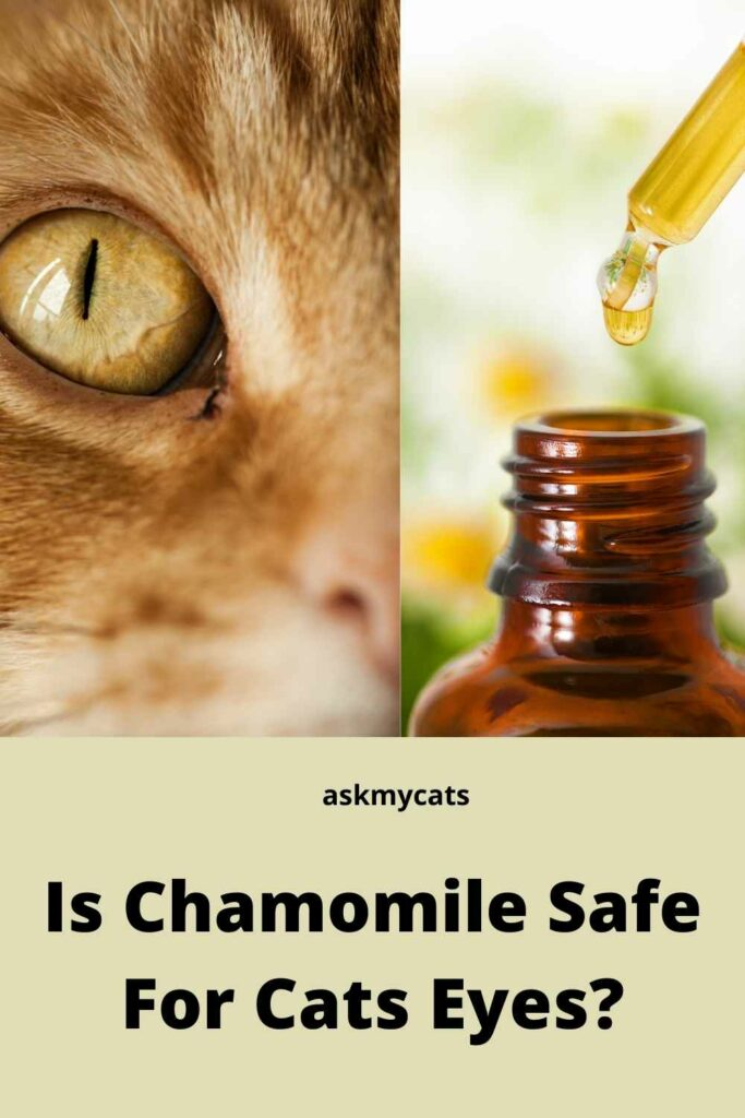 Is Chamomile Safe For Cats Eyes?