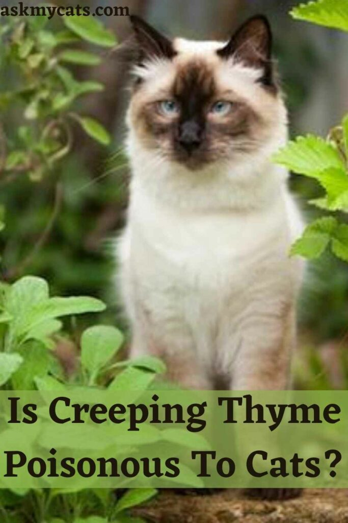 Is Creeping Thyme Poisonous To Cats?