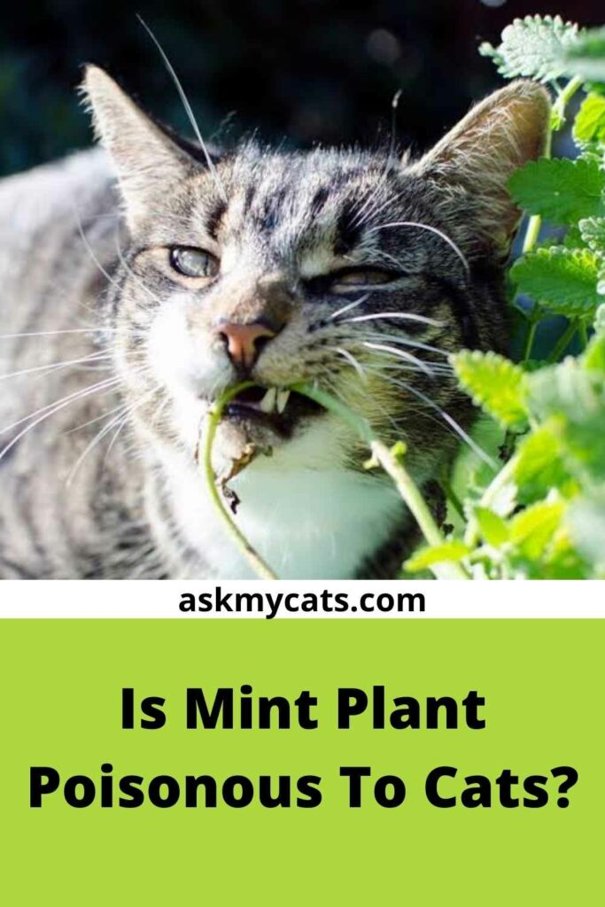 Is Mint Plant Poisonous To Cats?