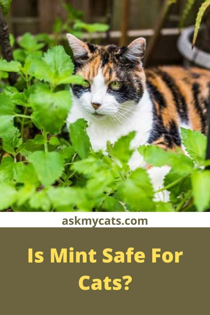 Is Mint Safe For Cats?