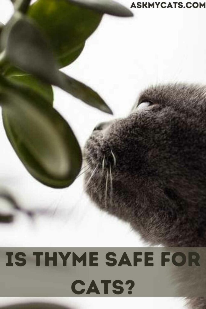 Is Thyme Safe For Cats?