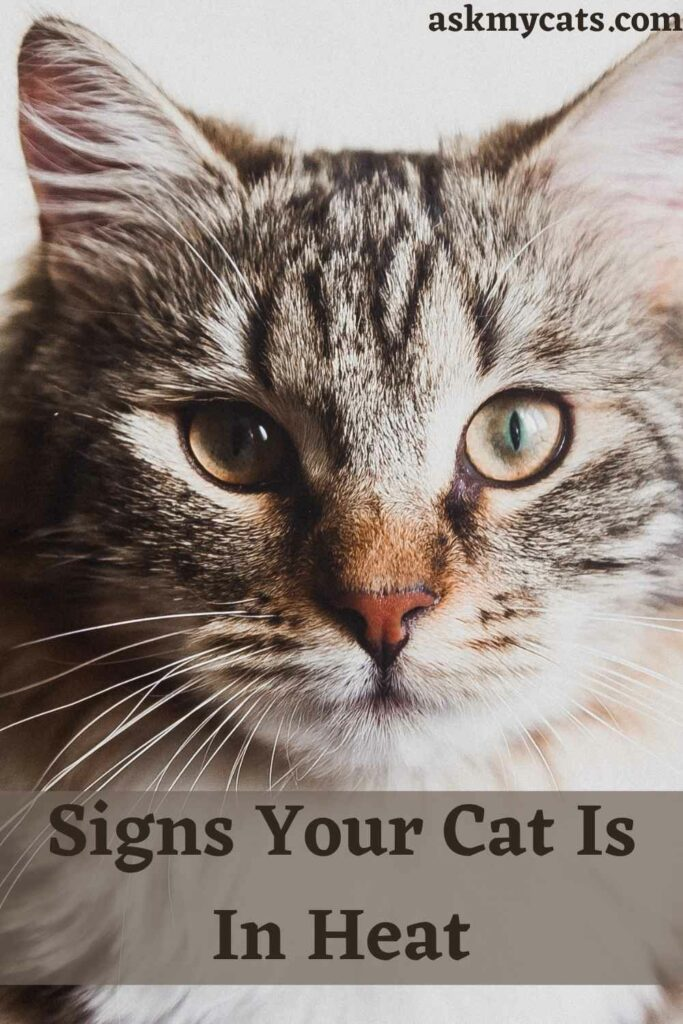 Signs Your Cat Is In Heat