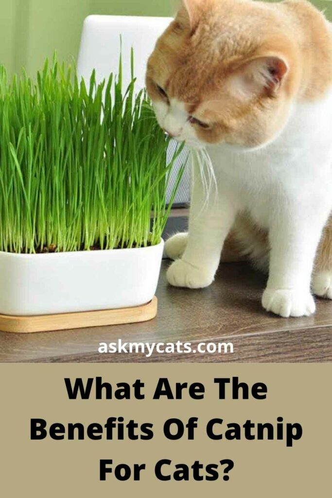 What Are The Benefits Of Catnip For Cats?