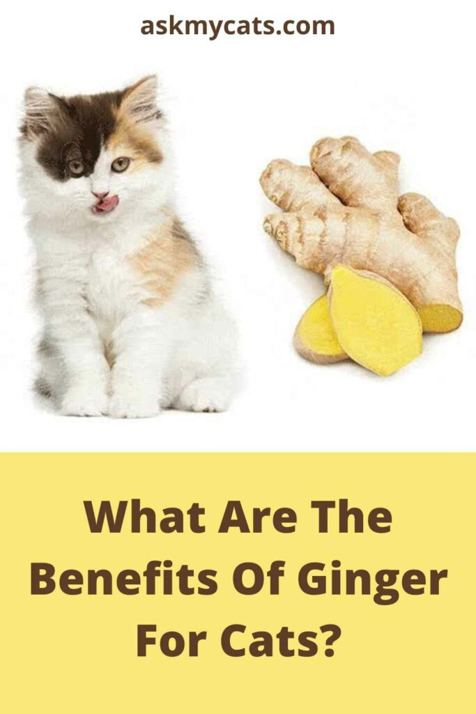 What Are The Benefits Of Ginger For Cats?