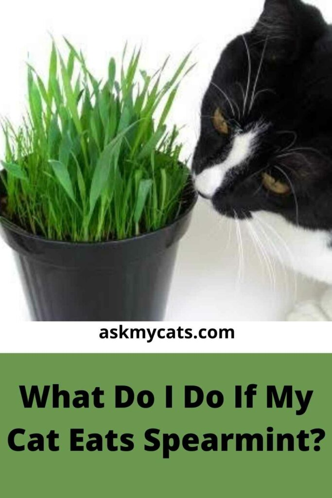 What Do I Do If My Cat Eats Spearmint?