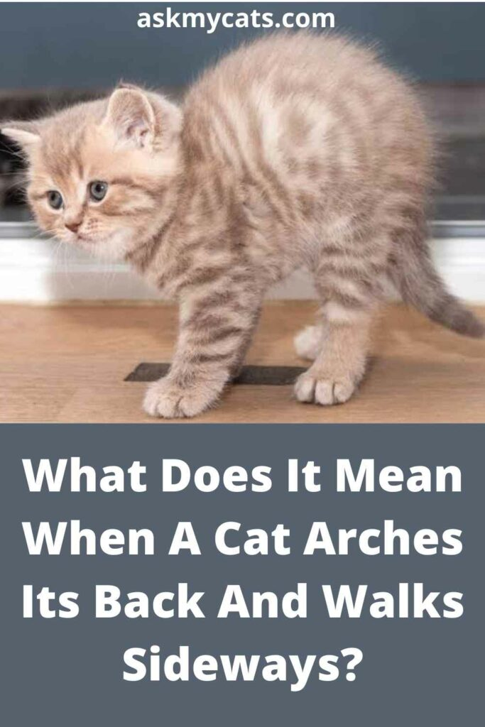 What Does It Mean When A Cat Arches Its Back And Walks Sideways?What Does It Mean When A Cat Arches Its Back And Walks Sideways?