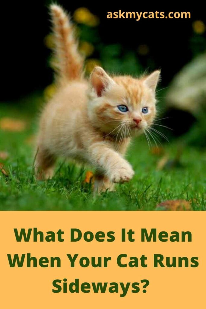 What Does It Mean When Your Cat Runs Sideways?
