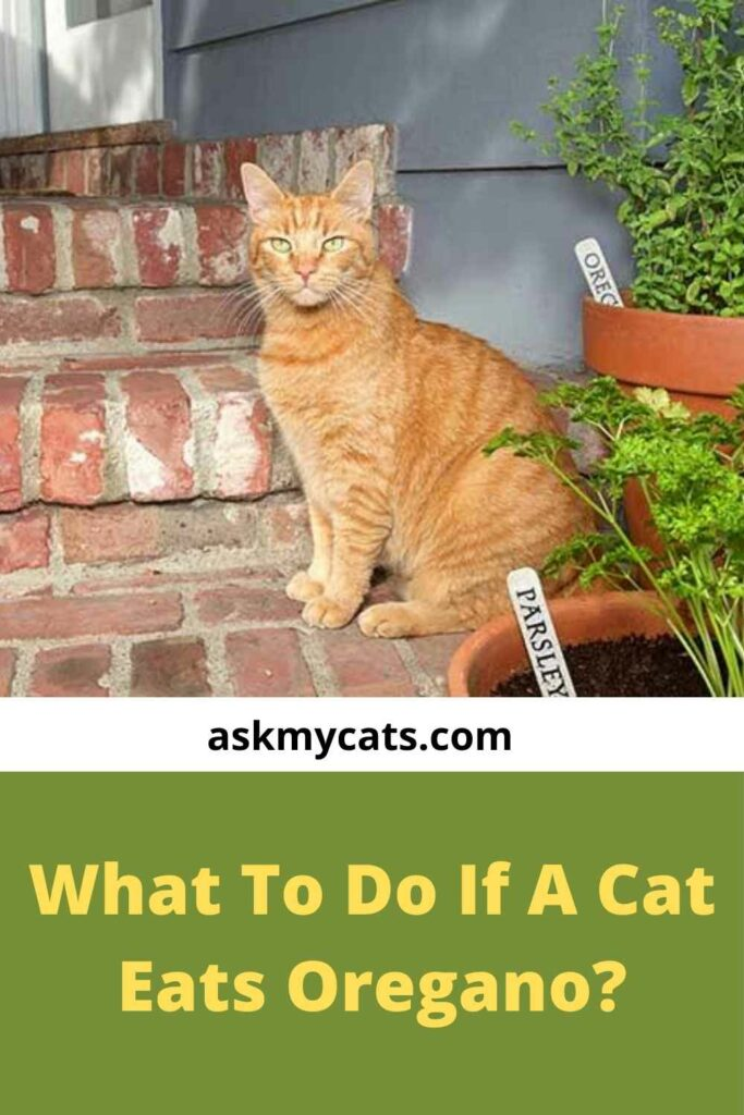 What To Do If A Cat Eats Oregano?