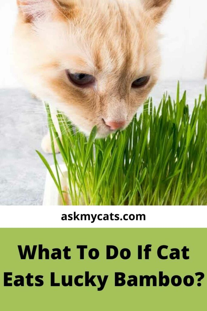 What To Do If Cat Eats Lucky Bamboo?